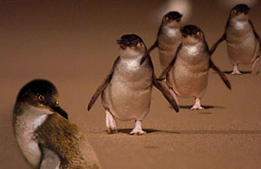 Sightseeing and Personalised Tours Phillip Island Penguins